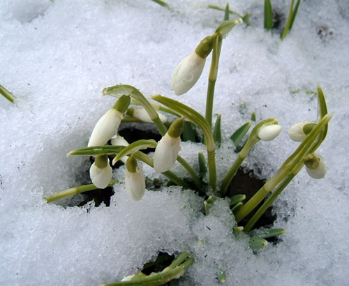 snowdrops-snow-february-scotland-early-spring